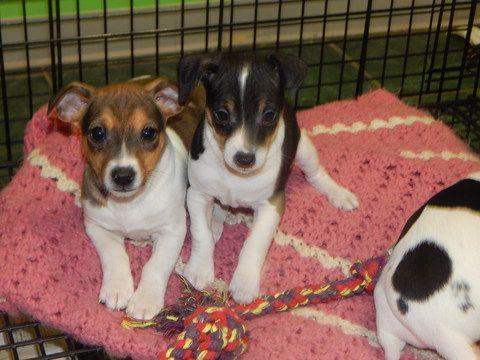 Rat Terrier Puppy For Sale In Hammond In Usa Adn 60536 On Puppyfinder Com Gender Male Age 8 Weeks Old Rat Terrier Puppies Rat Terriers Rat Terrier Dogs