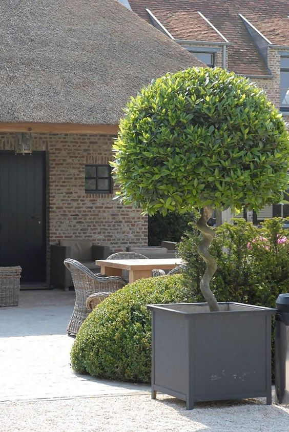 twisted stem topiary and outdoor dining with all weather rattan chairs: