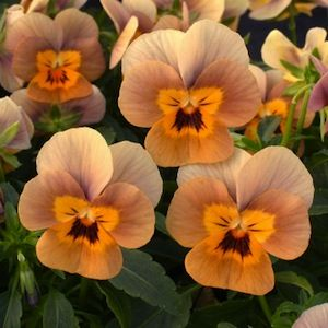 Viola, Angel Terracotta - Garden Seeds - Annual Flower Seeds, these have the funniest little faces...
