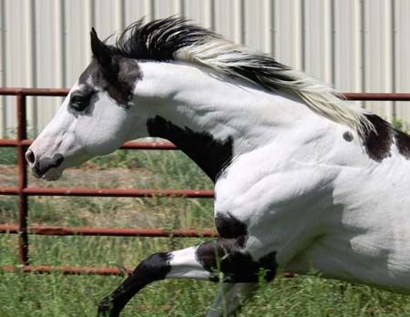 ♥Equine American Paint Horse western quarter paint horse paint pinto horse Gypsy Vanner Indian pony solid tovero overo frame sabino