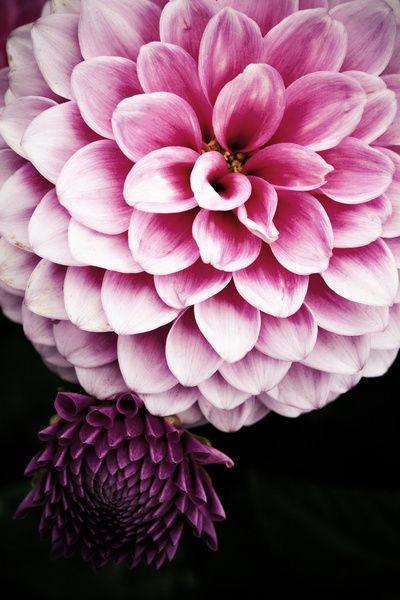 Watercolor Pink Dahlias