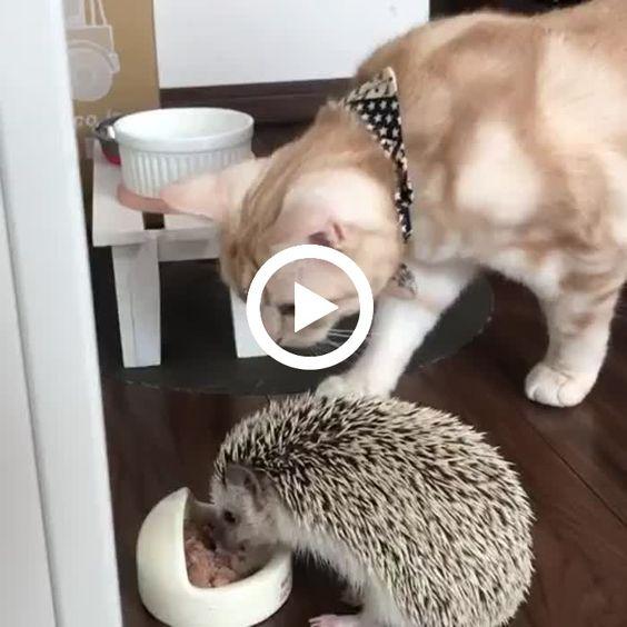 Gato desejando a comida do porco espinho