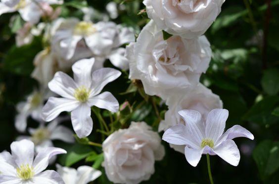 薔薇とクレマチス