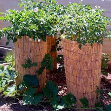 Vertical potato gardening