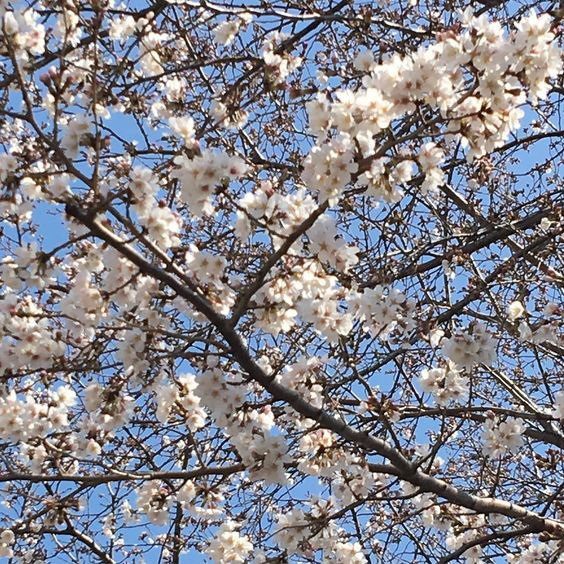Sakura still needs time to be in full bloom ;next week maybe ..??