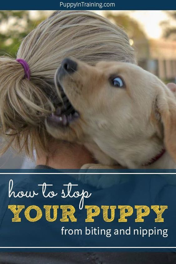 Is Your Puppy Constantly Nibbling On Your Hands Feet Legs And