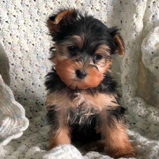 Available Puppies Tea Cup Yorkies Yorkie Puppies Tiny Yorkies Yorkshire Terri Yorkie Cup Puppies Te Yorkie Puppy Yorkie Miniature Yorkie Puppies