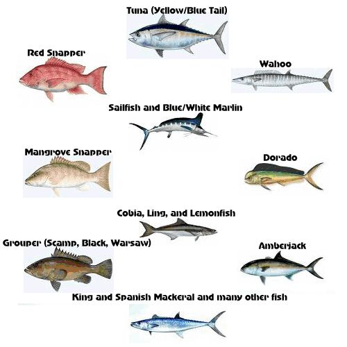 Louisiana salt water fish gulf coast fishing trips for Gulf fish species