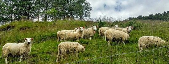 #norway #countryside #sheep