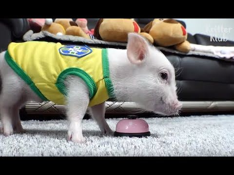 This Pig Isn T Just Adorable He S Also Brilliantly Smart