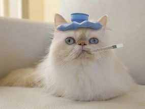 PEDIGREE cats bred to have flat faces are more likely to suffer from breathing…