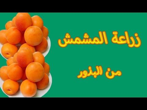 Youtube Fruit Apricot Food
