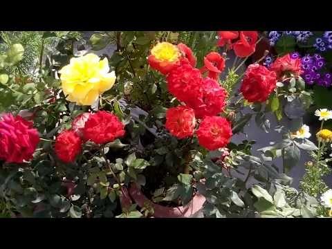 Grow Roseइस तरह उग ए ग ल ब Top Method Of Growing Roses 99 Result Of Stem Propagation Youtube Plants Garden Plants Organic Fertilizer