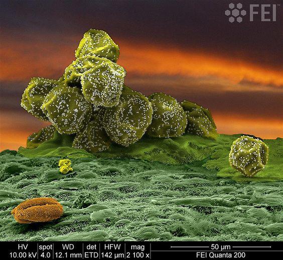 Cupressus sempervirens pollen