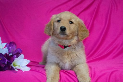 Golden Retriever Puppy For Sale In Cuyahoga Falls Oh Adn 71316