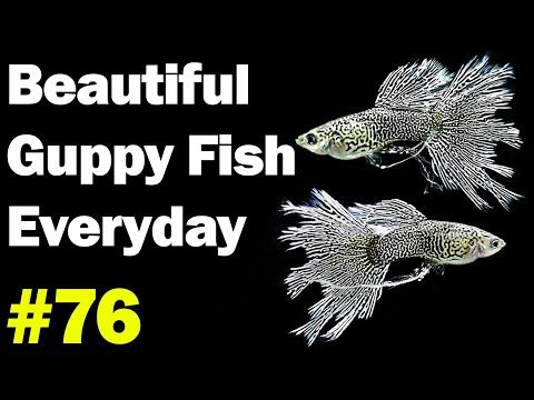 Guppy Channel Beautiful Guppy Fish Everyday 76 Youtube Guppi