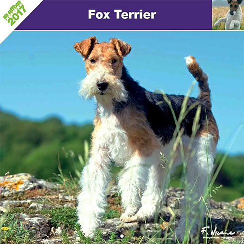 Calendrier chien 2017 - Race Fox Terrier - Affixe Edition