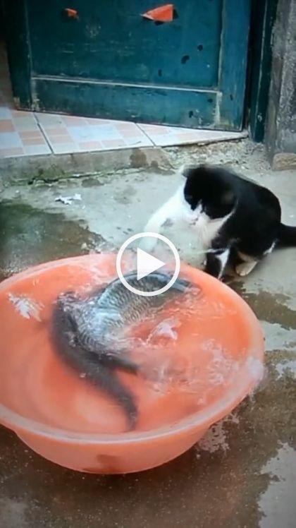 O gato querendo pega o peixte