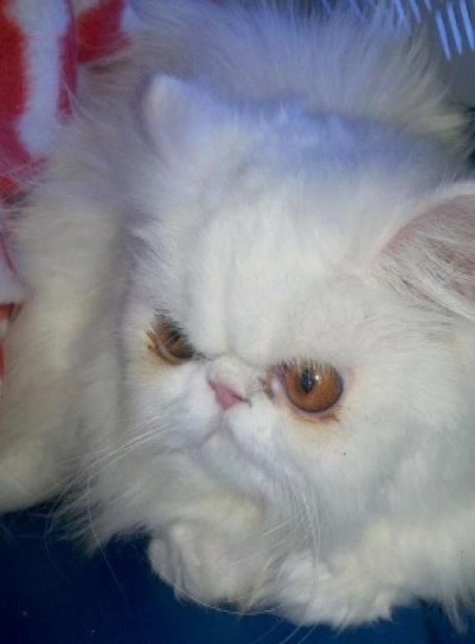 A pile of soft white fur. Mischa is 3 year old white Persian. She is a rescue cat from Dallas.