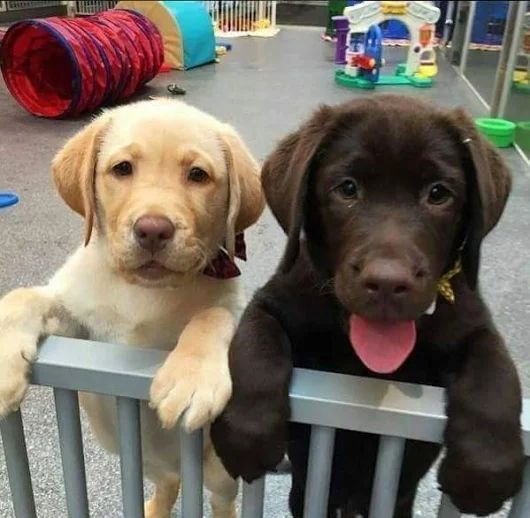 Friends Forever Stay Together Cute Lab Puppies Labpuppy Labradorpuppy Note No Copyright Infringement Is Intended So Mes In 2020 Lab Puppies Labrador Puppies