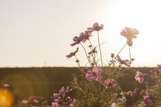 Pink Flowers - Cosmos