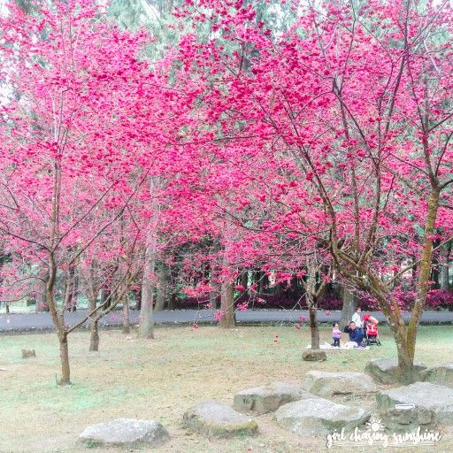 Blushing Taiwan Where To See The Pinkest Cherry Blossoms In Taiwan Girl Chasing Sunshine Blossom Cherry Blossom Taiwan