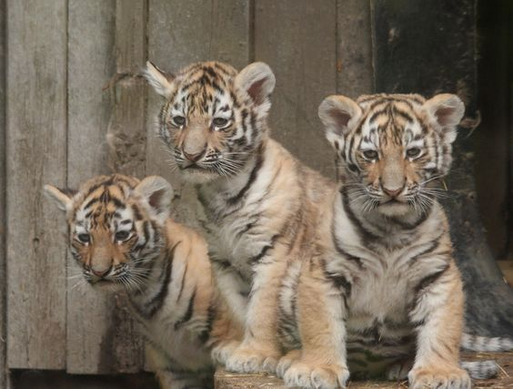 Two of the Calgary Zoo's three tiger cubs, shown in a handout photo, born in the spring now have names. (HO Calgary Zoo-Trevor Symons)