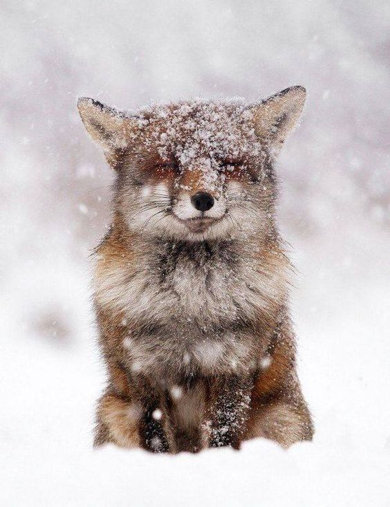 Adorable fox with smile in winter snow #adorableanimals #redfox #winterwonderland