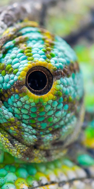 Chameleon's eye- Could be used for a soft/oil pastel drawing unit.