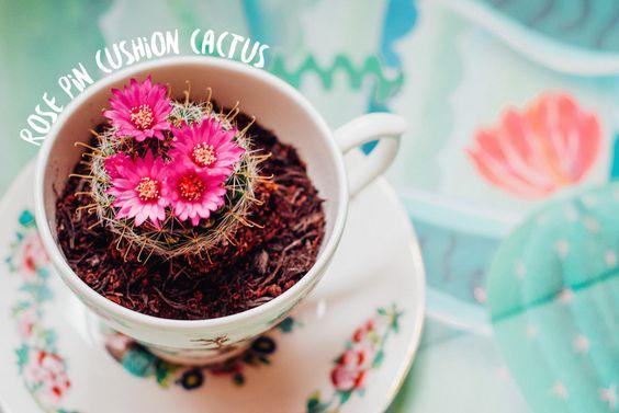 girl in albion | uk fashion blog rose pin cushion cactus