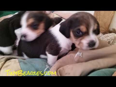 3 Week Old Tiny Christmas Pocket Beagle Puppies For Sale Beagle