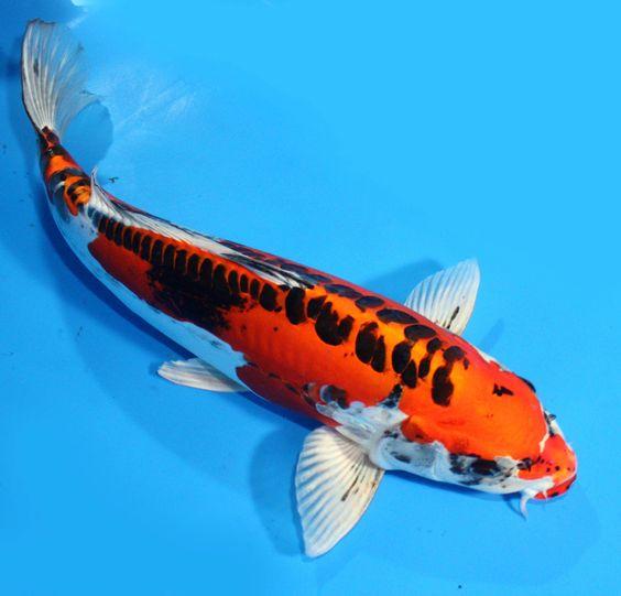 Koi fantasmas and ebay on pinterest for Ebay live fish