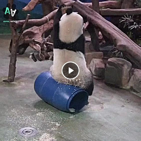 Esse panda é engraçado demais.