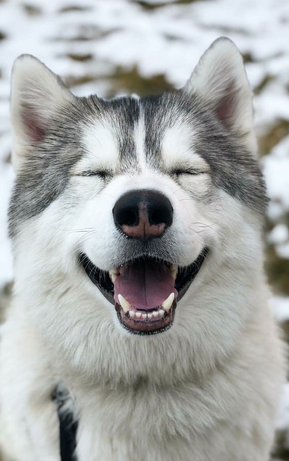 5 Signs Your Dog Trusts You With His Life Siberian Husky Dog