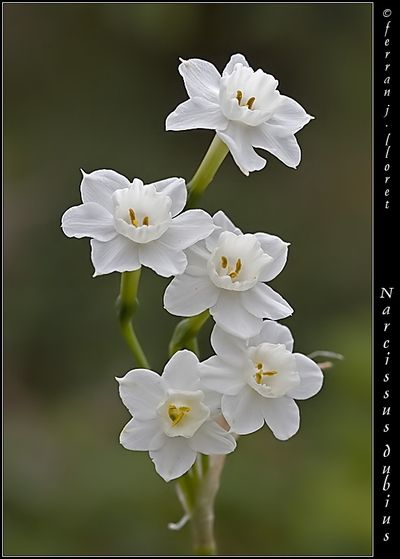 Narcissus Flower December birth month flower, also the holly as well. For Lily's part of the tattoo
