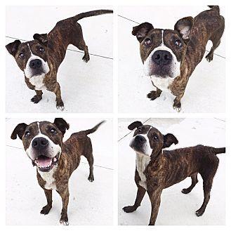 URGENT! Everman, TX - Boxer/Terrier (Unknown Type, Medium) Mix. Meet Tigger, a…