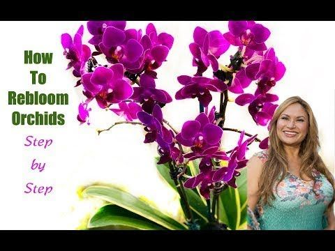Learn How To Make An Orchid Plant Rebloom Over And Over Again You Will Be Excited To Learn The Secret And Orchid Rebloom Cymbidium Orchids Care Orchid Plants