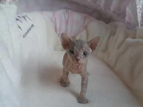 Don Sphynx Blue Girl For Sale Cat Hug Cats Sphynx Kittens For Sale