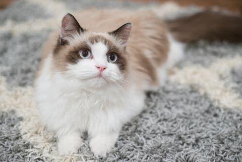 Cómo adiestrar a un gato en casa? - Mis Animales | Gatitos esponjosos,  Razas de gatos, Casita para gatos