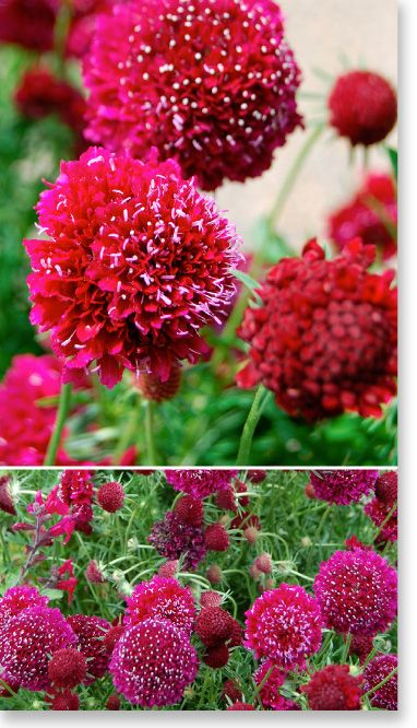 "Plants Management Australia Pty Ltd - Scabiosa ""Crimson Clouds"""