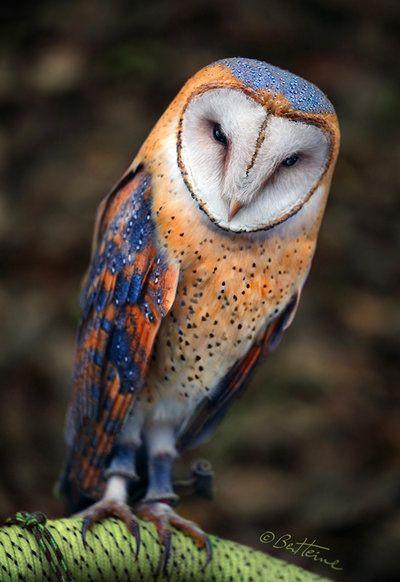 Heart-Shaped Face Barn Owl.: