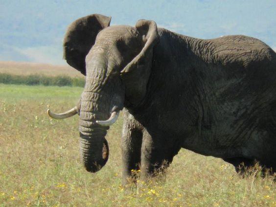 Tembo in the crater, Ngorongoro, Tz