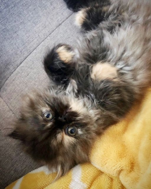Instagram Dollypersian Persiancats Kitten Cutekittens Cats Catlovers Cutecats Adorable Kittens Cutest