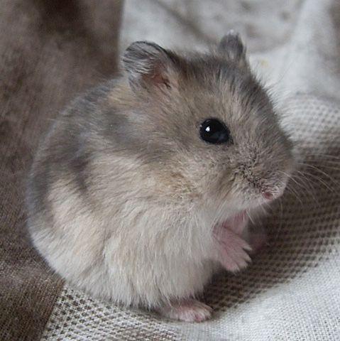 Little Grey Hamster Cute Hamsters Baby Hamster Cute Animals
