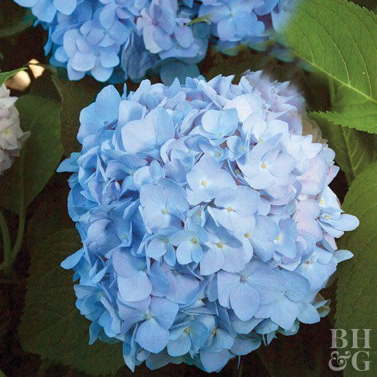 Known For Their Beautiful Blooms And Leafy Foliage Hydrangeas Are The Epitome Of Summer Hydrangea Not Blooming Flower Garden Plans Hydrangea Flower