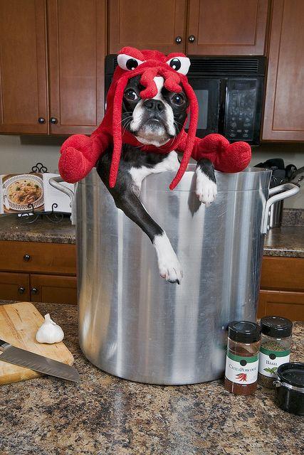 Boston Terrier as lobster