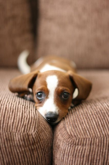 Puppy (I can haz in my couch??)