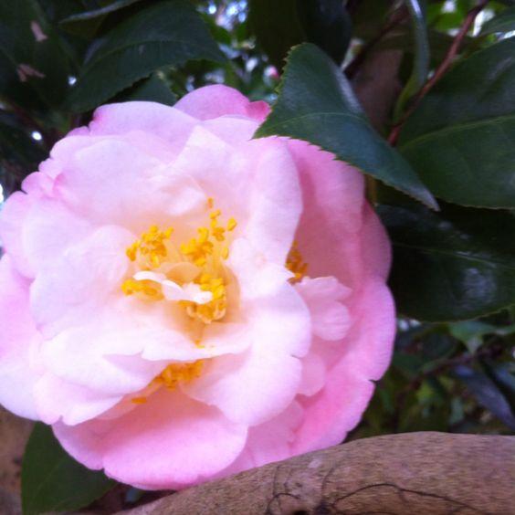 Camellia Tree - Baton Rouge LA