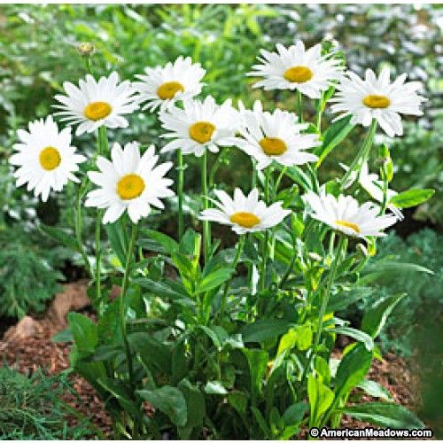White Shasta Daisy Becky, Leucanthemum superbum, Shasta Daisy
