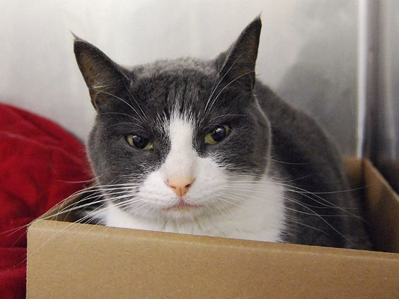 """SILVIA - A1084664 - - Manhattan  **TO BE DESTROYED 08/12/16** SOS! SECOND CHANCE FOR SILIVIA!! SILVIA NEEDS MEDICAL CARE RIGHT AWAY!! Silvia is an amazing kitty who lived with children, is friendly with all even strangers and is dog friendly. Sadly this girl was surrendered to ACC for """"pet health."""" It seems Silvia has some liver issues and it likely has been going on for a bit. It's a shame she couldn't receive veterinary care instead of just being d"""